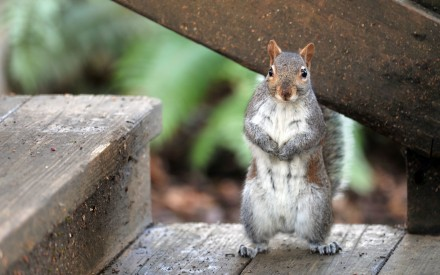 Squirrel-Standing-on-Wooden-Stairs